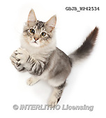 Kim, ANIMALS, REALISTISCHE TIERE, ANIMALES REALISTICOS, fondless, photos,+Silver tabby kitten, Loki, 4 months old, looking up and begging,++++,GBJBWP42534,#a#