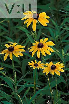 Black-eyed-susans ,Rudbeckia hirta, New JerseyHunterdon County