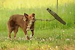 Nippenose Valley, Lycoming County, PA. English Shepherd...........................................