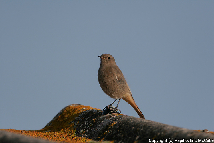 Black Redstart, Phoenicurus ochruros, Angus, Scotland, perched on roof top tiles. 27/10/2005.