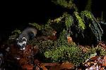 A wild European Polecat (Mustela putorius) investigates an old tree stump on the woodland floor. North Wales