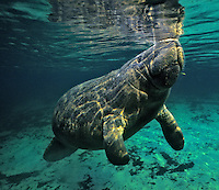 Manatee (Trichechus manatus), Florida.