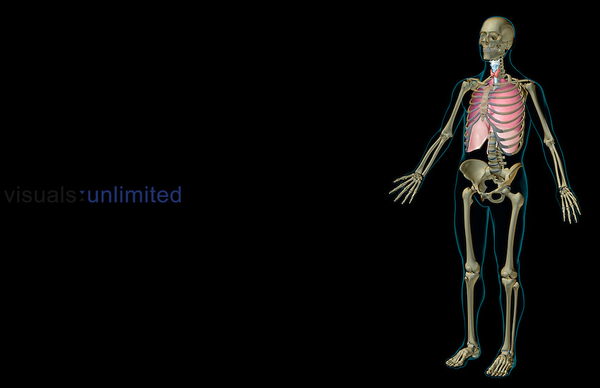An anterolateral view (left side) of the respiratory system relative to the skeleton. The surface anatomy of the body is transparent and tinted turquoise. Royalty Free