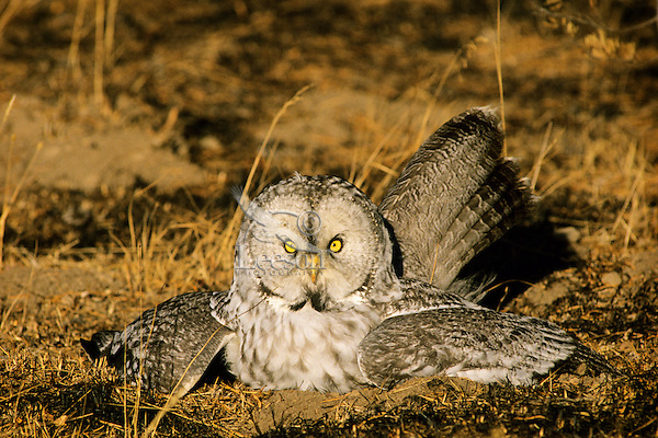 Great gray owl hunting mice after a forest fire.  It is actually grabbing a mouse/vole in its underground runway through the loose topsoil.