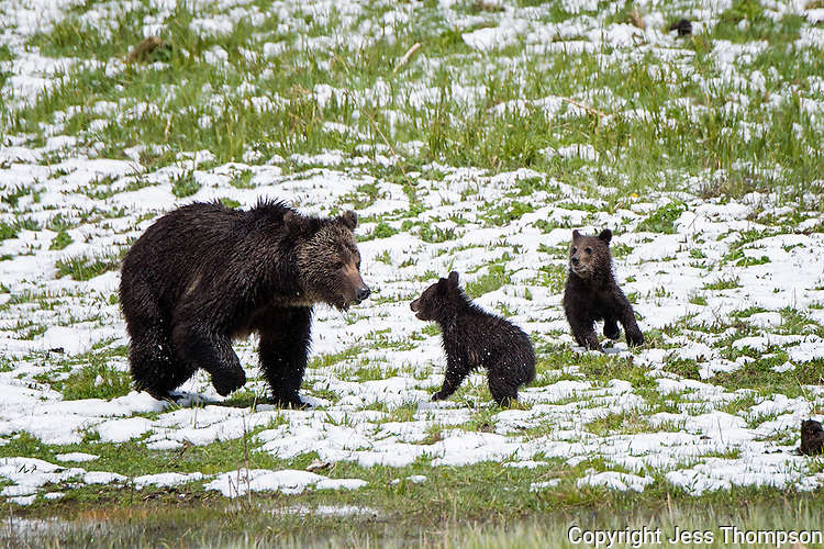 Grizzly Bear mom with her two cubs, Yellowstone National Park