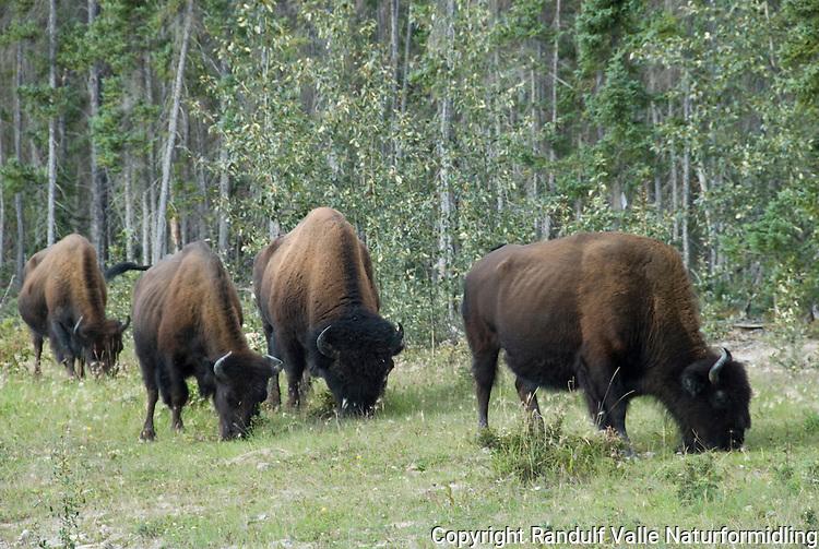 Flokk av amerikansk bison (Bison bison athabascae) nær Fort Providence i Canada. ---- Herd of american bison (Bison bison athabascae) near Fort Providence, Canada.