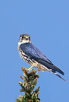 559312042v a wild male merlin falco columarius perches on the top of a fir tree in the northwest territories of canada