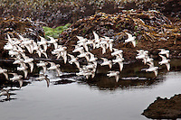 In a tight formation sanderlings soar and swoop along Pescadero State Beach.