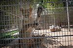 Remi OCHLIK/IP3 PRESS - On august, 28, 2011 In Tripoli - In Tripoli s zoo can be seen Hillal, the Saadi Qaddafi lion