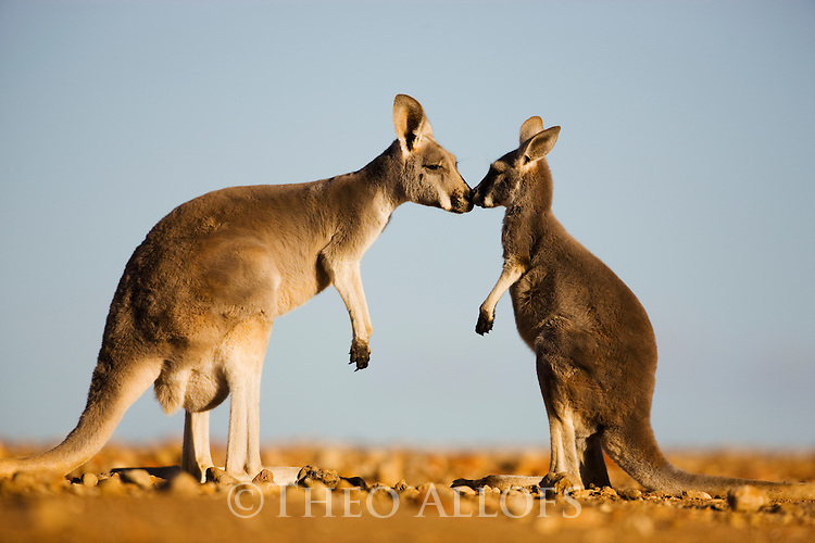 Australia,  NSW, Sturt National Park; red kangaroo mother touching nose with joey (Macropus rufus); the red kangaroo population increased dramatically after the recent rains in the previous 3 years following 8 years of drought