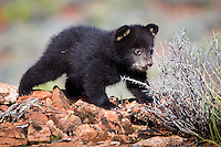 Baby Black Bear investigating a bush - CA