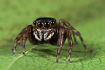 Jumping Spider, Salticidae sp., Iquitos, Peru, jungle, amazonian, showing large bulbous eyes, good vision. .South America....