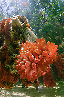 roots of red mangrove, Rhizophora mangle, with cluster of orange mangrove tunicates (ascidian or sea squirt), Ecteinascidia turbinata, source of anti-cancer drug Ecteinascidin, Great Abaco, Abaco Islands, Bahamas, Caribbean Sea, Atlantic Ocean