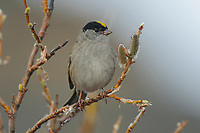 Golden-crowned Sparrow (Zonotrichia atricapilla) in willow. Seward Peninsula, Alaska. May.