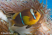 0320-1121  Clark's anemonefish (Yellowtail clownfish), Amphiprion clarkii, with Bulb-tipped Anemone, Entacmaea quadricolor  © David Kuhn/Dwight Kuhn Photography.