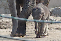 Baby Elephant in Budapest Zoo 2013