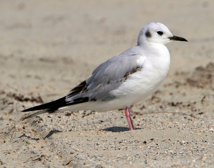 First winter Bonaparte's gull