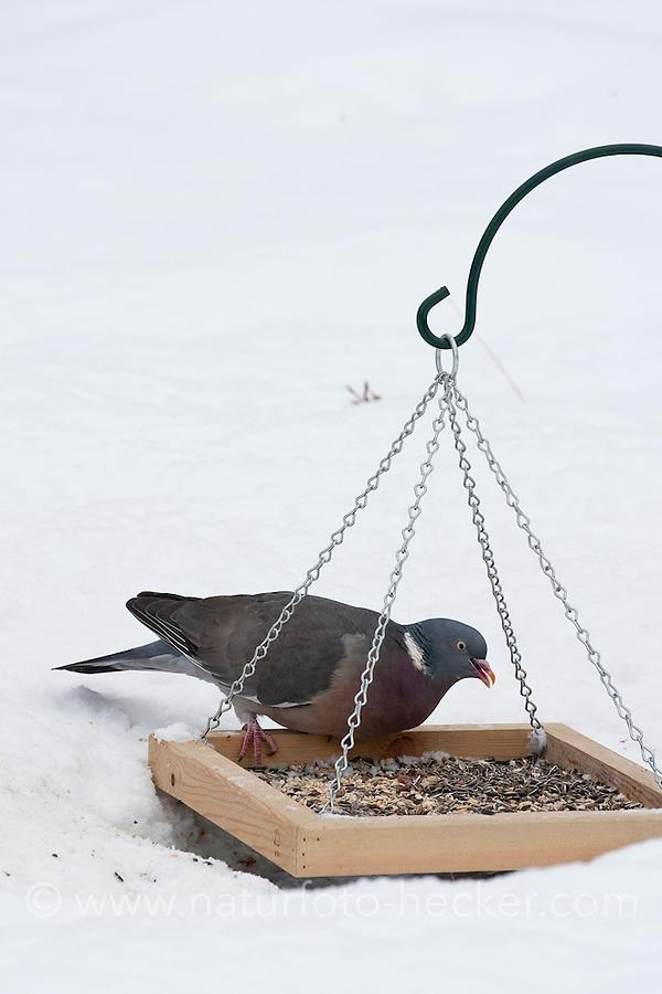 Ringeltaube, Ringel-Taube, Ringel - Taube, an der Vogelfütterung, Fütterung im Winter bei Schnee, frisst Körner vom Futtertisch, Winterfütterung, Columba palumbus, Wood Pigeon, woodpigeon, Pigeon ramier