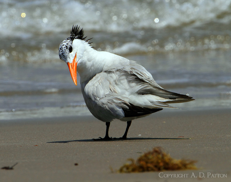 Royal tern in post-breeding plumage in July