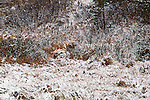 A coyote is camouflaged in the surrounding brush at the edge of a snow dusted field,  Washington State, USA