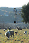 sheep and windmill in San Miguel, CA