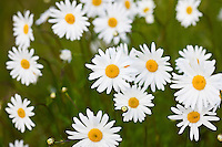 Ox-eye daisies, Leucanthemum vulgare, in English country garden, UK..