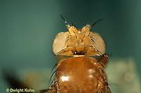 1D05-017a   Fruit Fly - white eyed adult -  Drosophila melanogaster