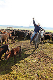 USA, Wyoming, Encampment, a cowboy ropes a calf for branding, Big Creek Ranch