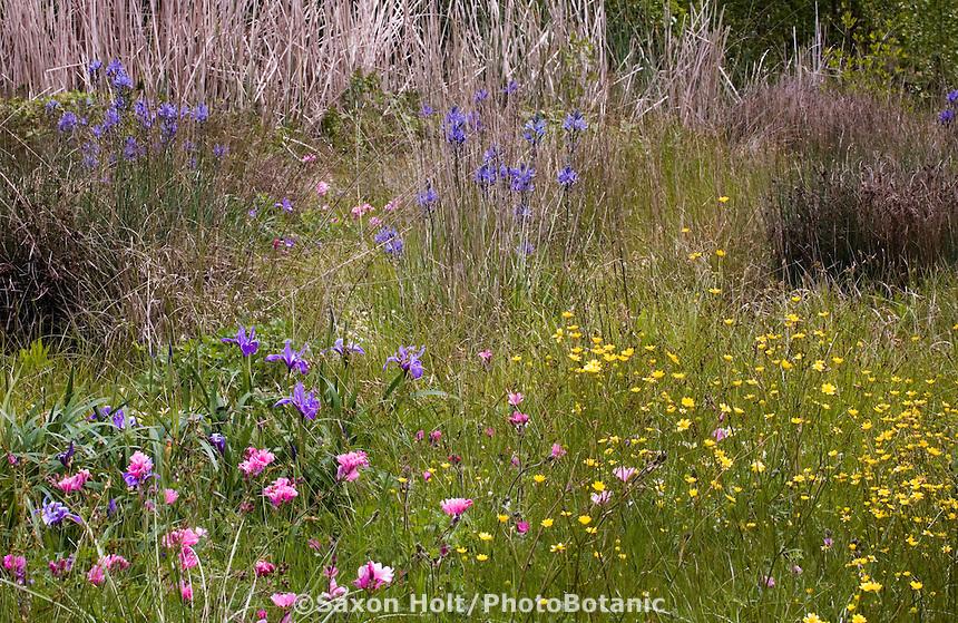 Spring Meadow garden with native wildflowers, Iris, buttercups, checkerbloom,  Menzies California native plant garden