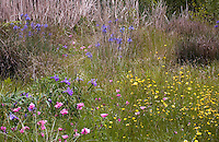Spring Meadow garden with native wildflowers, Iris, buttercups, checkerbloom,  Menzies California native plant garden