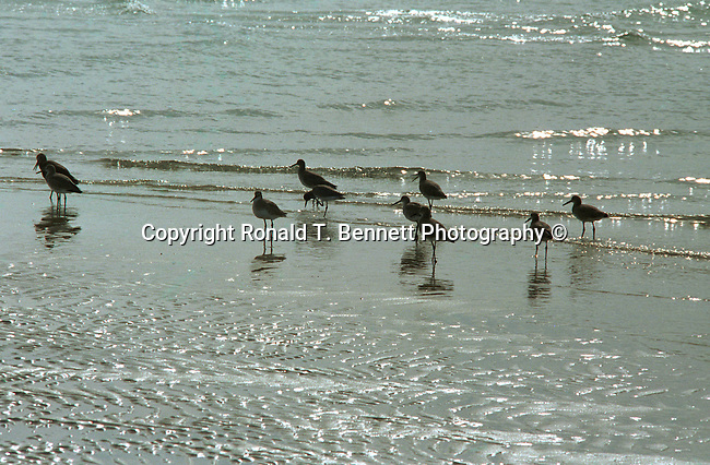 Sandpipers (Scolopacidae)run along beach, Sandpiper, sandpipers, scolopacidae, scolopaci,waders, genera calidris, tringa, actitis, curlews, snipes, bills, Fine Art Photography, Ronald T. Bennett (c), Fine Art Photography by Ron Bennett, Fine Art, Fine Art photography, Art Photography, Copyright RonBennettPhotography.com ©