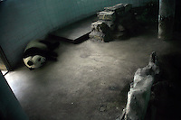 A giant panda sleeps in a small concrete enclosure in the zoo in Nanjing, China.