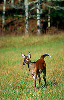 A White-tailed deer fawn.