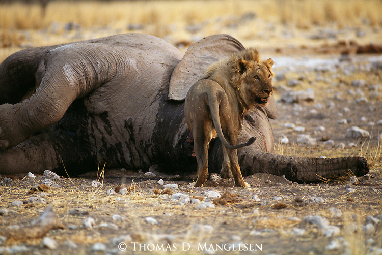 Male lion stands by an Elephant carcass in Africa.