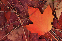 Close up of an abstract of maple leaves and pine needles in autumn.