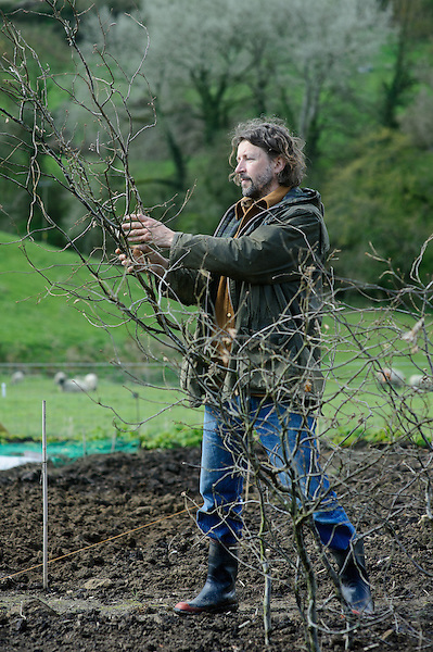 Placing Hazel pea sticks in place to support sweet peas.