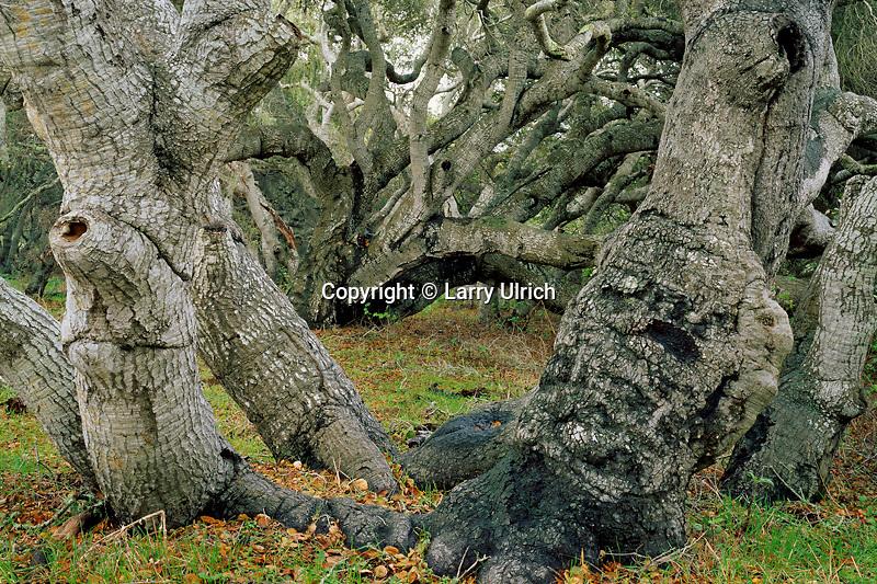 Coast live oaks (Quercus acrifolia)<br /> Los Osos Oaks State Reserve<br /> San Luis Obispo County<br /> California