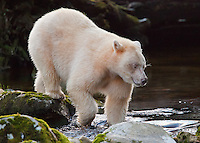 Spirit Bear 'Ringer' prowling for Salmon