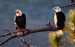 Alpine Co. bald eagles