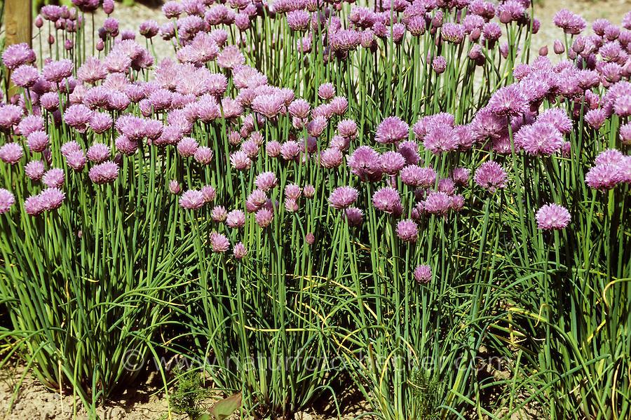 Schnittlauch, Schnitt-Lauch, Allium schoenoprasum, Chives
