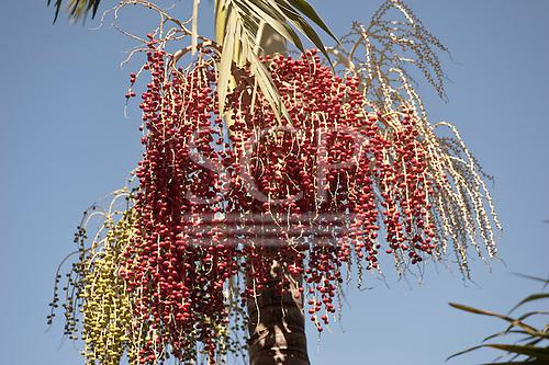 Brasilia, Brazil. Acai (assai) fruit growing on an assai palm.