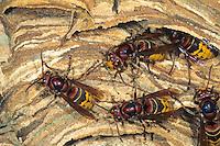 Hornisse, Hornissen, Nest, Hornissennest, Vespa crabro, hornet, hornets, brown hornet, European hornet, nest