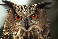 Close up portrait of a Eurasian Eagle owl.