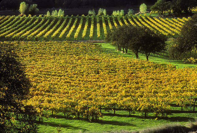 Fall colors in vineyard of Joseph Phelps winery, St. Helena