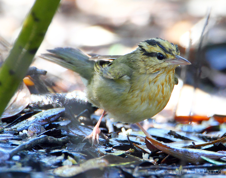A wet worm-eating warbler at mister in March
