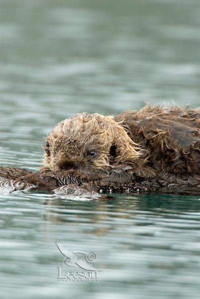 Sea Otter (Enhydra lutris) nursing.