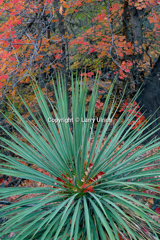 Yucca and bigtooth maple<br />