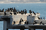 cormorants on Cannery Row