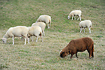 Flock of Sheep Grazing in a Pasture in Londonderry, Vermont USA