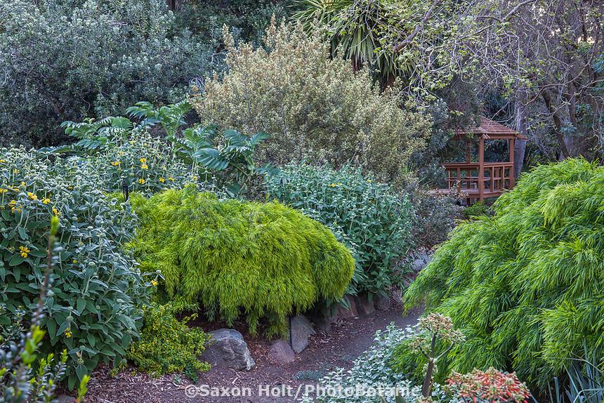 Drought tolerant mixed shrub border with Acacia 'Cousin Itt', Phlomis and Myrtus at Leaning Pine Arboretum, California garden